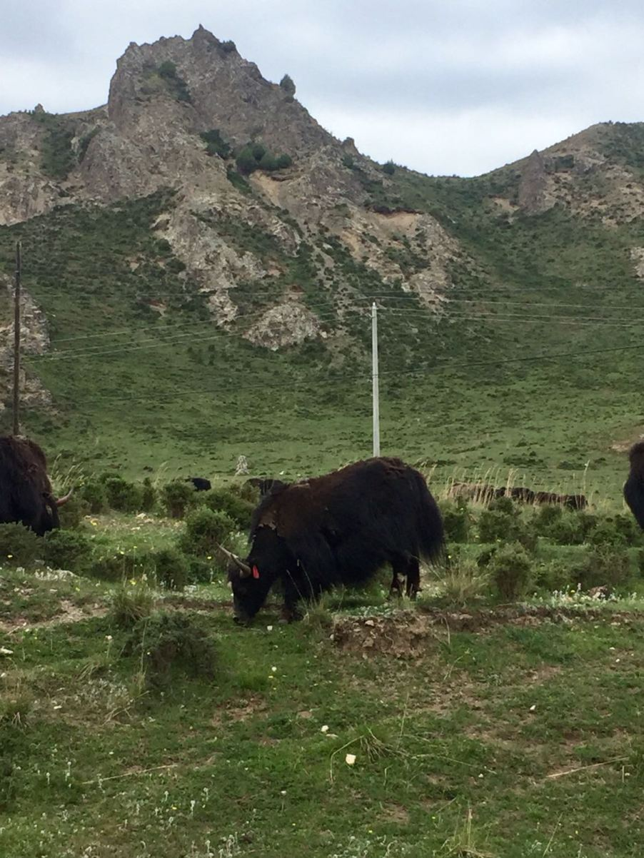 Yaks and all: beautiful scenery in Qinghai province